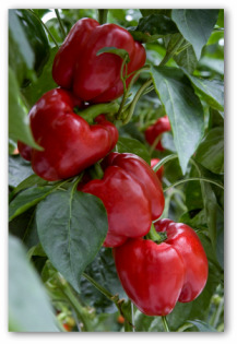 red bell peppers growing on the plant