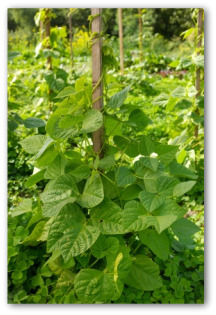 fresh pole bean plants climbing a pole