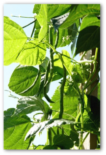 fresh pole beans growing on the vine