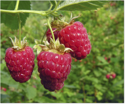 fresh raspberries growing on the vine