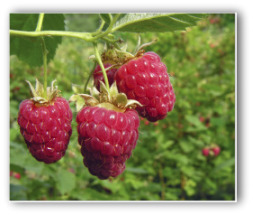 fresh red raspberries growing on the plant