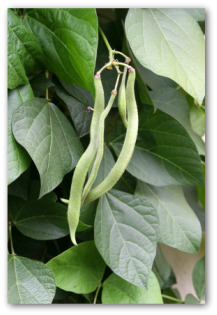 fresh runner beans growing on the vine
