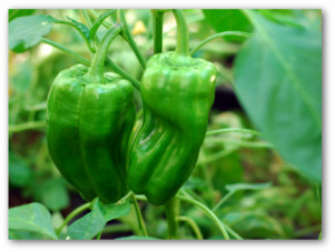 green bell peppers growing in a garden