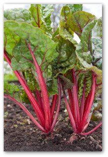 swiss chard growing in a garden
