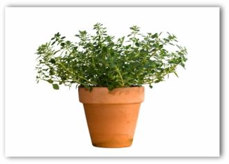 thyme plant growing in a pot