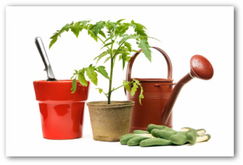 tomato plant with gardening gloves and a trowel