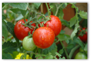 fresh tomatoes growing