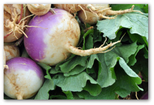 growing turnips