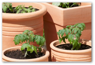 tomato plants in terra cotta pots