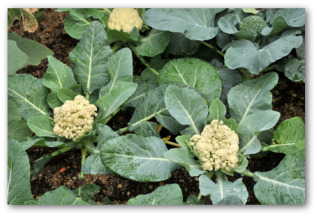 young cauliflower plants growing in the garden
