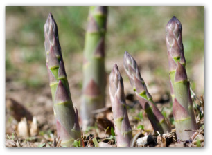 fresh asparagus growing out of the ground