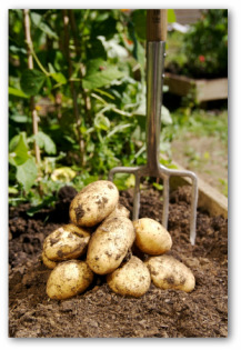 potatoes freshly dug up from the garden