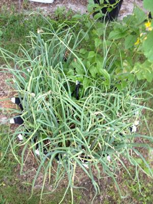 Shallots Growing in Recycled Tire Container Garden