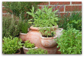 herb gardening in clay pots