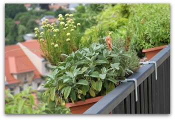 growing herbs in a balcony container garden