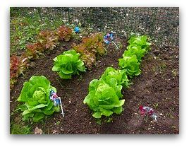 fresh lettuce planted in rows in a garden