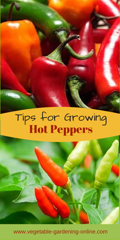 tips for growing hot peppers