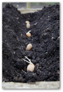 vegetable sprouts about to be planted in a row