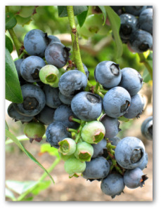 cluster of blueberries growing on the plant