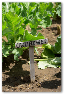 cauliflower sign and plants in a garden