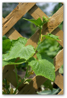 cucumber plant growing in a trellis