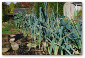 leeks growing in the ground