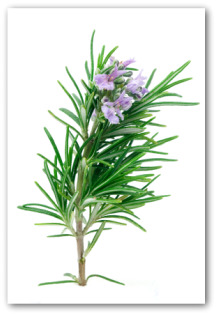 flowering rosemary sprig