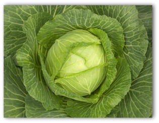 head of cabbage growing