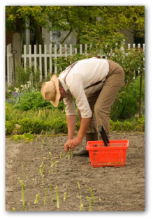 gardener planting an asparagus bed in the ground