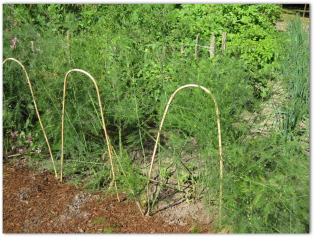 garden with asparagus plants growing  in it