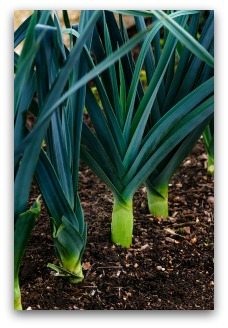 Close-Up of Healthy Leek Plants in the Garden
