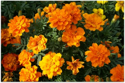 Companion Planting Of Vegetables With Marigolds