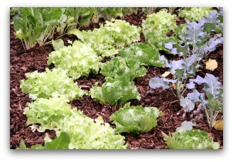 Mulching Vegetable Garden Helps Control Weeds