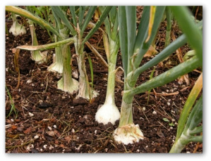 onions growing with mulch around them