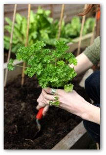 gardener planting a parsley plant in a patio vegetable garden