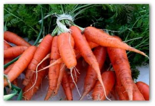 fresh picked carrot bunches