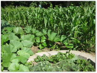 vegetable garden with growing sweet corn