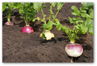 turnips growing in the garden