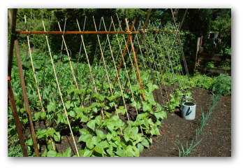 pole beans growing in a garden with a trellis