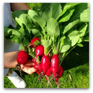 freshly harvested radishes from the garden