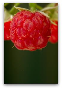 Ripe Red Raspberry on Vine