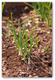 growing onion plants in the garden