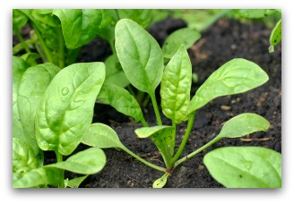 spinach seedlings growing in the garden