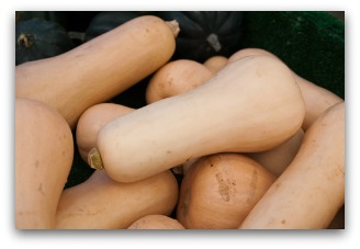 butternut winter squash harvest