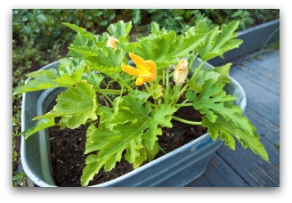 Squash Plant Growing in Container