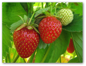 fresh strawberries growing on the vine