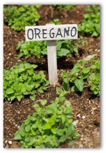 oregano sign and young plants