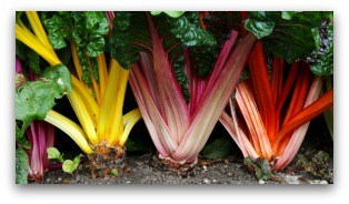 ornamental garden with colorful swiss chard