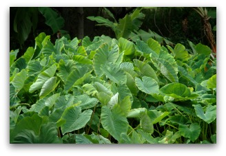 taro or dasheen plant growing