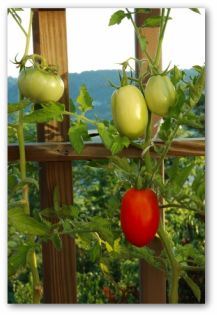 healthy roma tomatoes growing on the vine